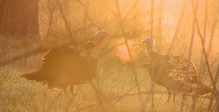 turkeys-early-morning.jpg